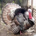 Mr Turkey